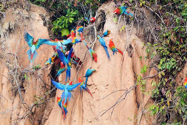 Amazon in Peru tambopata national reserve