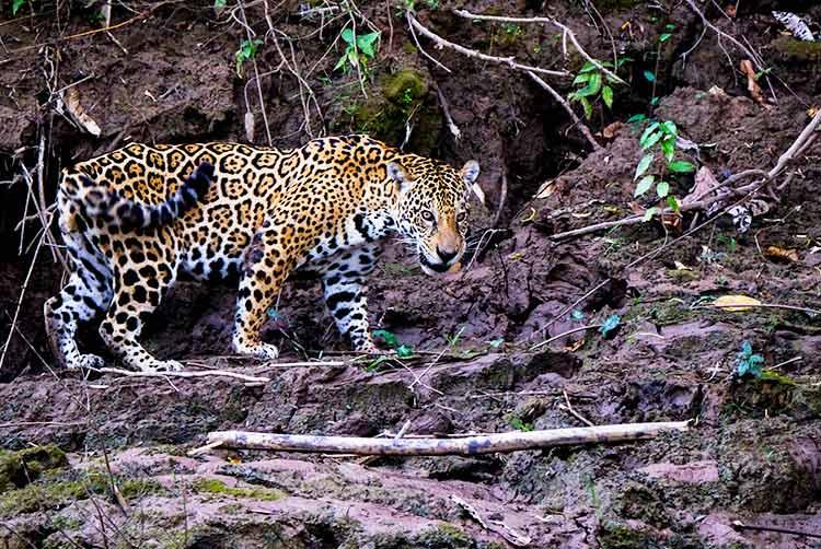 peruvian amazon wildlife spotting
